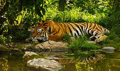 树林老虎高清图片