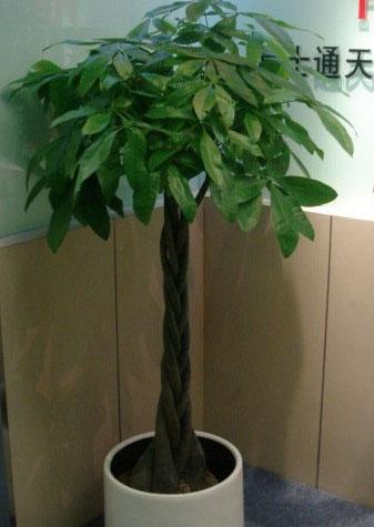 五瓣发财树