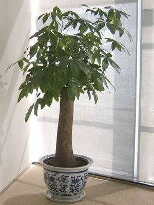 单干发财树