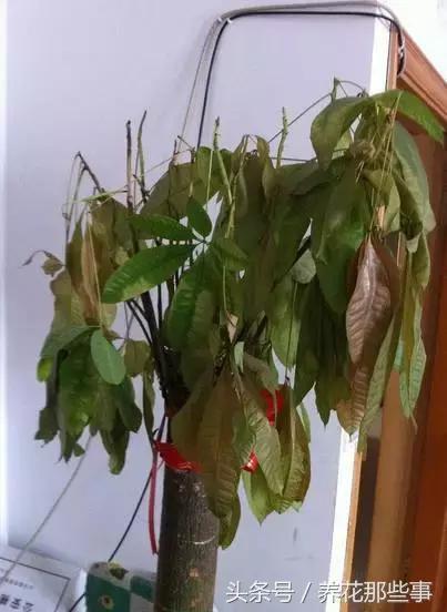 文竹发财树枯了怎么办?