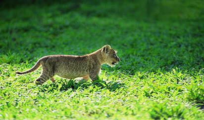 獵豹幼崽高清圖片